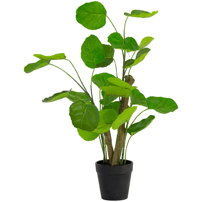 Grand Illusions Chinese Money Plant in Pot