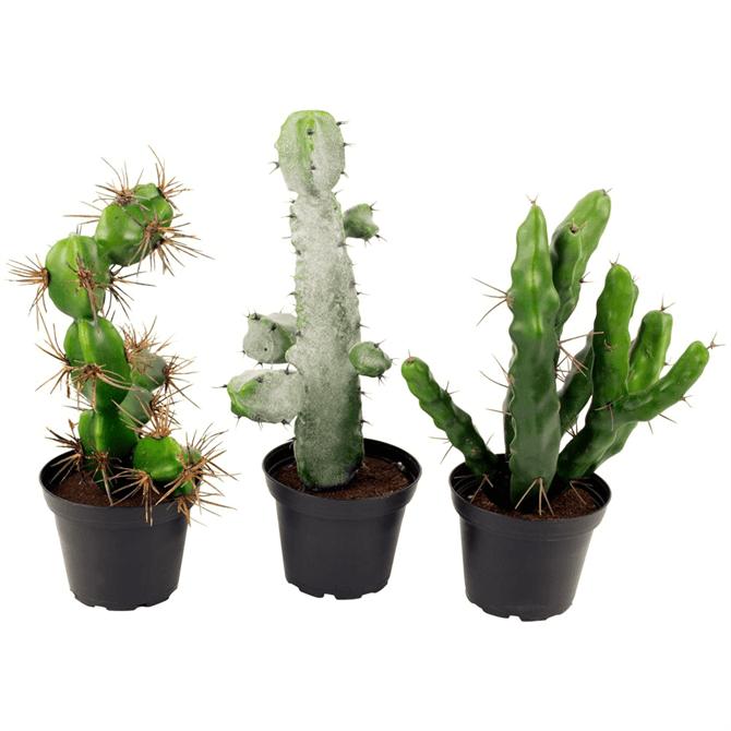 Grand Illusions Assorted Cacti