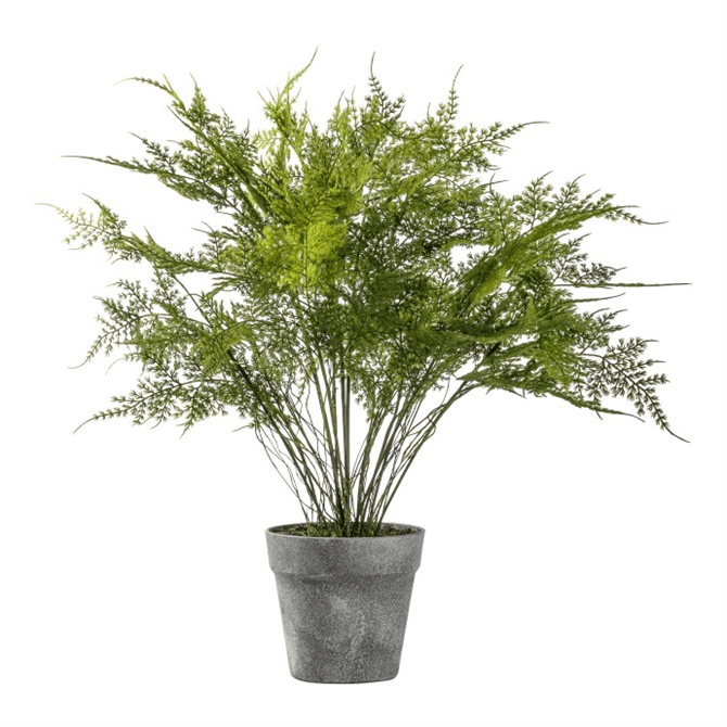 Gallery Direct Fern Asparagus Small