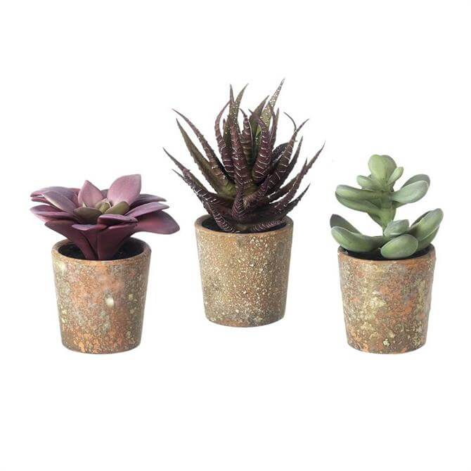 Parlane Potted Succulent 12.5 cms Assorted