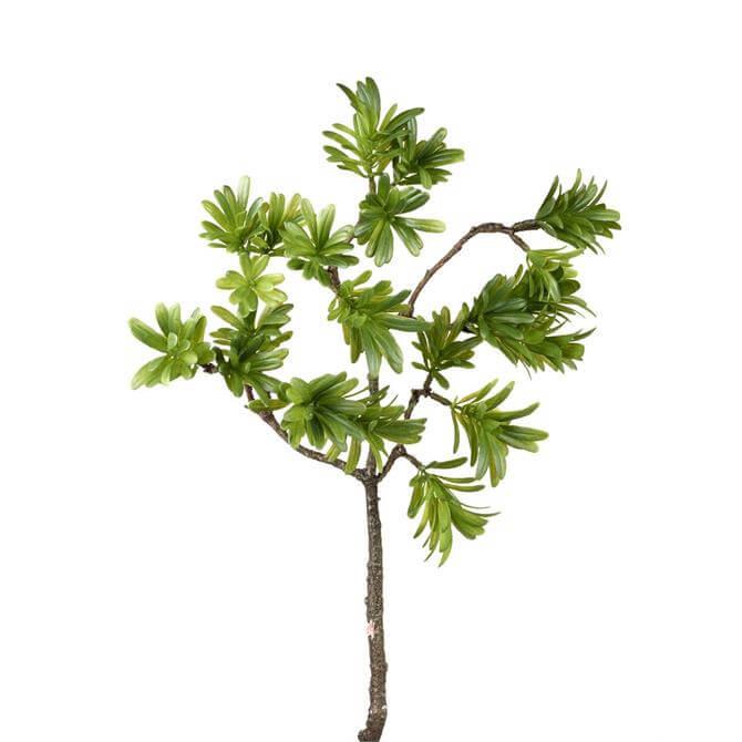 Parlane Podocarpus Branch