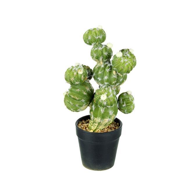 Parlane Echinopsis Cactus